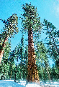 General Sherman Tree, the largest on earth