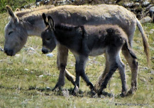 Burro Mother and Young.