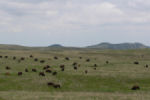 Bison, Custer State Park, SD