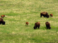 Custer State Park. Bison Calves
