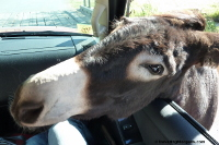 Custer State Park. Begging Burro with head in car