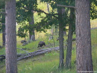 Custer State Park. Wild Turkey