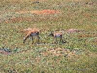 Pronghorn Antelope & Young