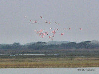 Rosetta Spoonbills in air, from boat near Aransas NWR