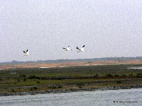 Whooping Cranes in air, from boat near Aransas NWR