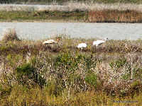 Whooping Cranes with chick, from boat near Aransas NWR