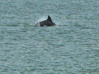 Dolphin off Mustang Island