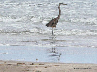 Padre Island National Seashore, Heron