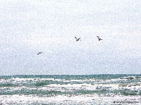 Padre Island National Seashore, Pelicans