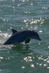 Dolphin Breaching, near Rockport, TX