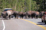 Bison on Road. Yellowstone National Park